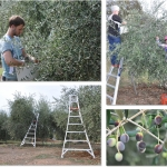 Olive Oak Ranch Harvest