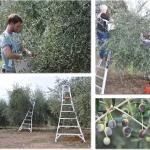 Olive Oak Ranch Harvest